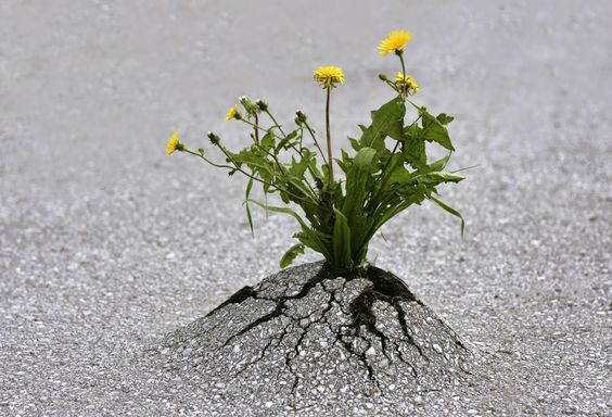dandelions-push-through-the-asphalt